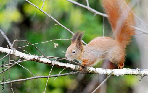 Aluminium Prints Squirrel European red tree squirrel on the birch tree