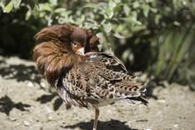 Wading Bird, The Ruff (Philomachus Pugnax) Male