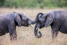 Two African Elephants Greeting...