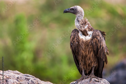 Photo white-backed african vulture perched on unturned
