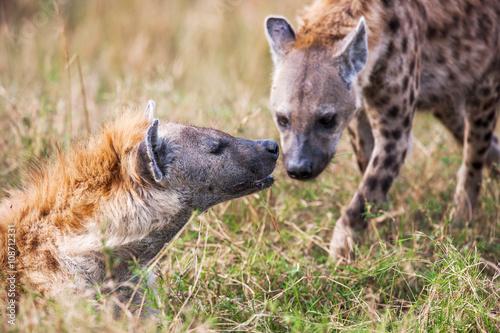 In de dag Hyena Portrait playing two hyenas (Crocuta crocuta),