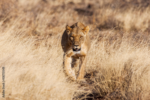 Photo  lioness approach, walking straight towards the camera