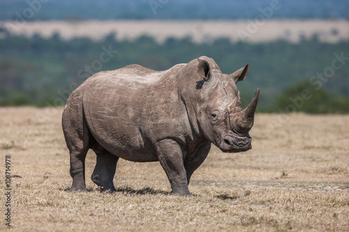Tuinposter Neushoorn White rhinoceros grazing in the wild, Africa.