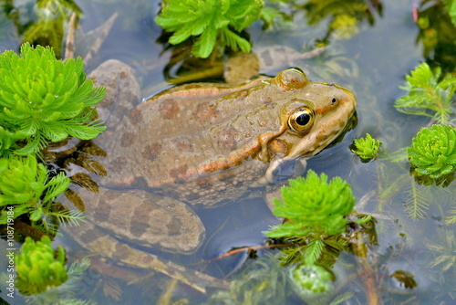 Fotografie, Obraz  Crapaud dans l'eau