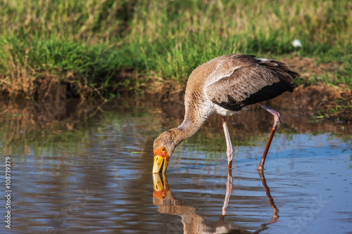 Photo Stands Kangaroo African Spoonbill Stork Wild Bird Background from Africa.