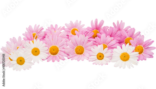 In de dag Madeliefjes pink daisy isolated