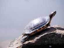 日向ぼっこ中の亀 / A Sunbathing Turtle