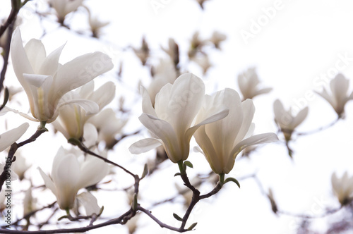 Staande foto Magnolia Beautiful magnolia flowers