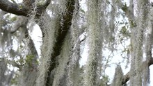 Long Strands Of Spanish Moss Sway In Florida Breeze As They Hang From Branchas Of Oak Tree