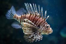 Red Lionfish (Pterois Volitans).