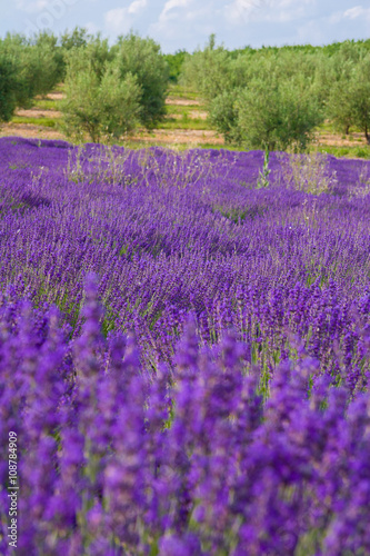 Tuinposter Lavendel Provence, blossoming purple lavender field at Valensole France