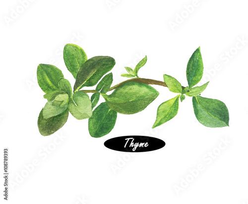 Fototapeta Watercolor fresh thyme isolated on white background obraz