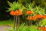 Fototapeta Kwiaty - Szachownica cesarska (Fritillaria imperialis)