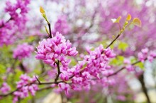 A Redbud, Or Cercis, Tree With...