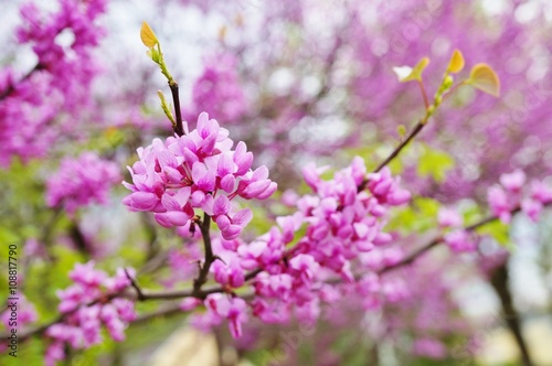 Fotografie, Obraz  A redbud, or cercis, tree with pink flowers