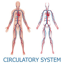 Human Circulatory System. Vector Illustration Of Blood Circulation In Human Body
