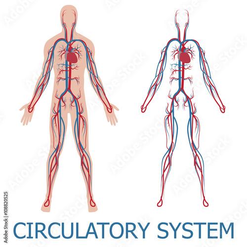 Tablou Canvas human circulatory system
