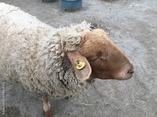 фотография  Sheep