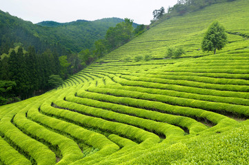 Fototapeta Orientalny Green tea plantation in South Korea