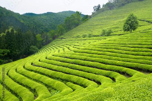 Fotografie, Obraz Zelený čaj plantáže v Jižní Koreji