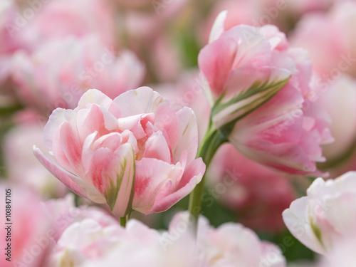 Foto op Plexiglas Magnolia ピンクと白がかわいいチューリップ