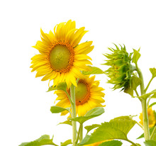Field Of Sunflowers On White Background