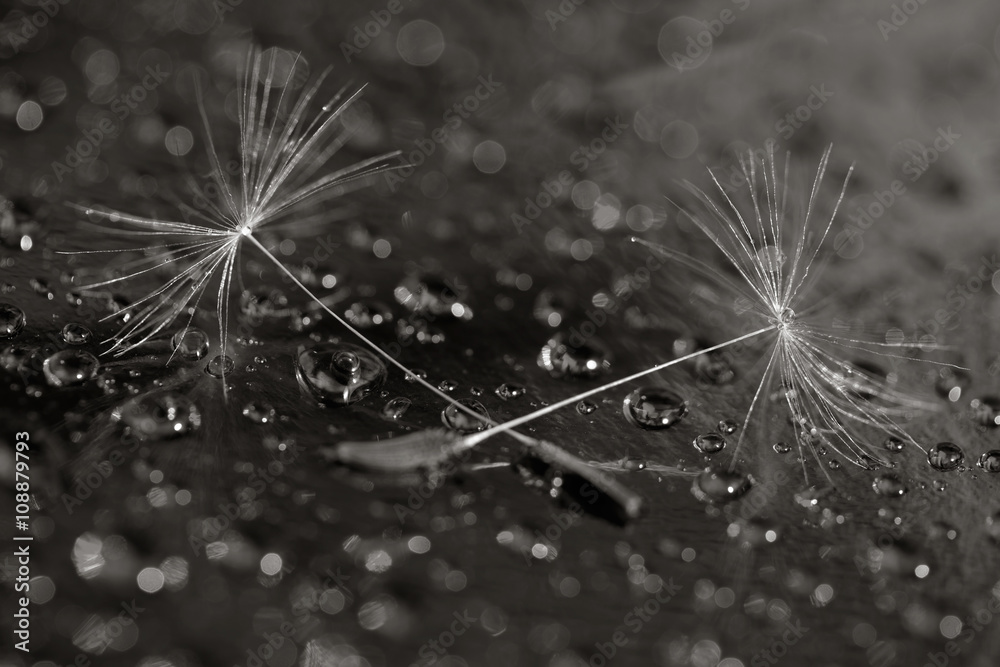 Fototapety, obrazy: black and white macro photo of two dandelion seeds on the background in the droplets of water. selective focus, shallow depth of field