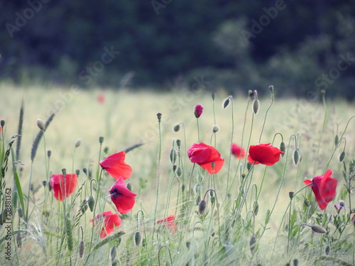 Fototapety, obrazy: Red poppy flowers in field