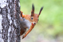 Funny Playful Curious Red Squi...