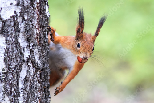 Tuinposter Eekhoorn funny playful curious red squirrel peeping from behind a tree with nuts hazelnuts in the teeth