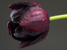 Purple Tulip With Raindrops