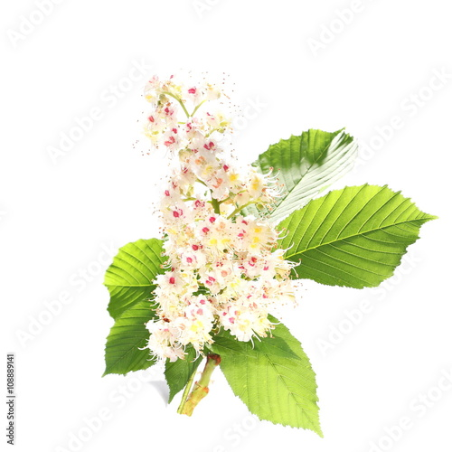 Photo Horse-chestnut (Aesculus hippocastanum, Conker tree) flowers and leaf isolated o