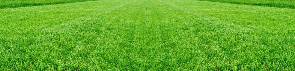 Polje mlade pšenice. Pozadina zelena trava.