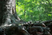 Tangled Tree Roots Beech