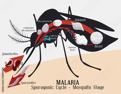 Photo Malarian Plasmodium Life Cycle: Mosquito Infection, Vector Illustration