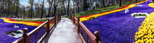 Romantic Wooden Bridge Among Of Tulips, Panorama Scene.