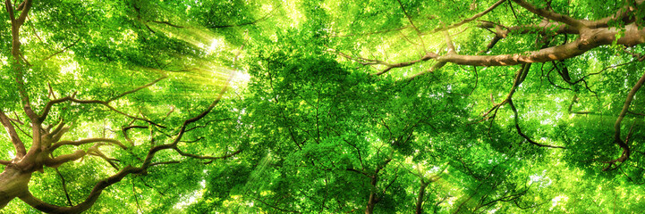 FototapetaSonnenstrahlen leuchten durch Blätterdach hoher Bäume
