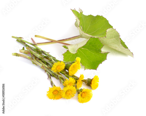 Coltsfoot flowers with leawes isolated. Tapéta, Fotótapéta