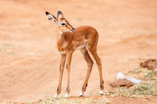 Young Impala Baby Stands And Watching Other Antelopes In A Game Reserve