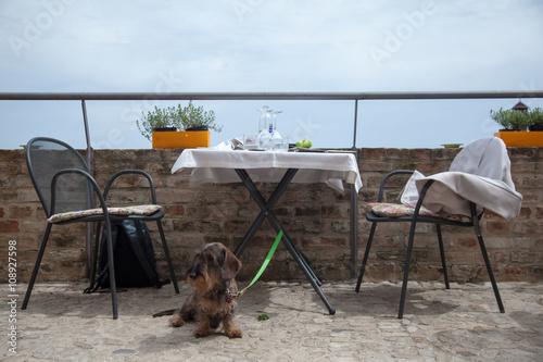 фотографія  Cane bassotto legato al tavolo