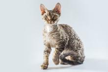 Cornish Rex Kitten Posing On A Grey Background.