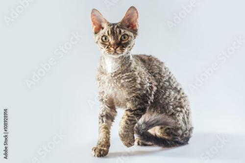 Cornish Rex kitten posing on a grey background. Canvas Print