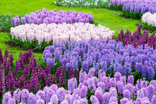 Fotobehang Tuin Colorful purple and lilac hyacinth flowers blossom in dutch spring garden Keukenhof, Lisse, Netherlands