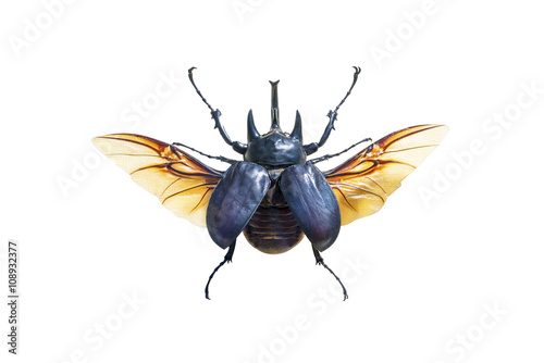 Leinwand Poster Exotic large beetle with wings isolated on white background