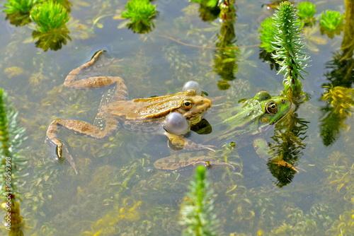 Fotografie, Obraz  Crapaud et grenouille verte, printemps
