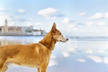 Spain, Gijon, dog standing on the beach watching something