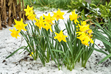 Daffodil Flower Bunch In April...