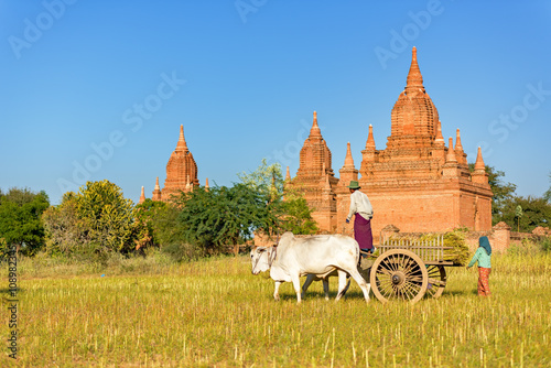 Photo harvests sesames and stacks up in Bullock carts at bagan,myanmar