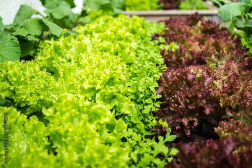 Photo Erntefrischer Salat im Freilandanbau