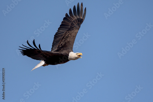 Fotografie, Obraz  An American Bald Eagle flying around on a beautiful day.
